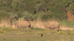Two rhinos outh Africa Wildlife Stock Footage