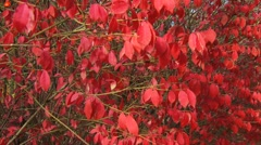 Red Leaves tracking Stock Footage