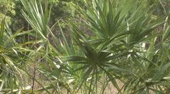 Palmetto Florida Plant Stock Footage