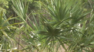 Stock Video Footage of Palmetto Florida Plant