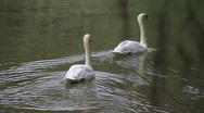 Swans in Homosassa Stock Footage
