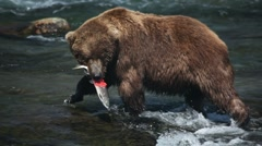 Adult Grizzlies in river eating salmon -18 Stock Footage
