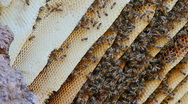 Stock Video Footage of Honeycomb Bees Close Up