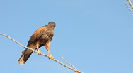 Stock Video Footage of Desert Hawk