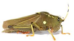 Dumpy Amazonian grasshopper  Stock Footage
