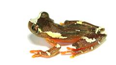 Sarayacu Treefrog (Dendropsophus sarayacuensis) Stock Footage