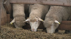 Sheep on a farm 3 Stock Footage