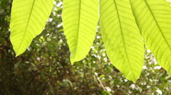 Backlit leaves of a Sheffleria tree in the rainforest canopy Stock Footage