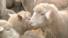 Sheep on a farm Stock Footage