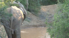 Group elephants drinking water - stock footage