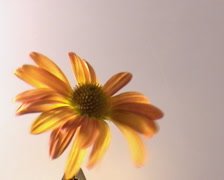 dying flower - stock footage