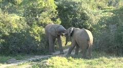 Elephants fighting Stock Footage