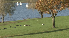 Canada Geese graze next to Rutland Water, dinghies sail in distance. Stock Footage