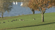 Stock Video Footage of Canada Geese graze next to Rutland Water, dinghies sail in distance.