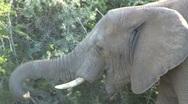 Elephant South Africa Wildlife Stock Footage