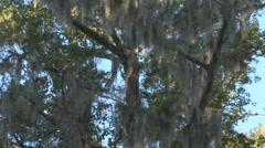 Spanish Moss Stock Footage