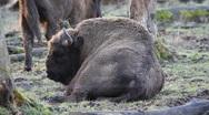 European Bison  5992 Stock Footage