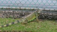 HD Big Urban Iguana Green Lizard watching tennis players 2 Stock Footage