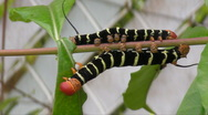 Stock Video Footage of HD Colorful Caterpillars on Green Leaf