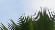 HD Palm Tree Branch Tips 2 Stock Footage