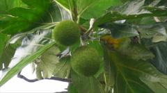 HD Wild Pana -  Panapen - Breadfruit tree Stock Footage