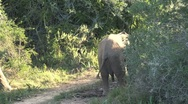 Little Elephant South Africa Wildlife Stock Footage