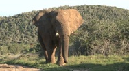 Stock Video Footage of Elephant walking South Africa Wildlife