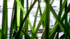 Pond Grass and Bugs HD Stock Footage