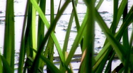 Stock Video Footage of Pond Grass and Bugs HD