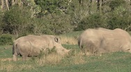 Stock Video Footage of Rhinos