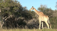 Stock Video Footage of Giraffe eating from tree