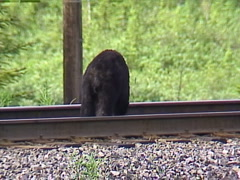 Black bear, #8 foraging on railway tracks, Stock Footage
