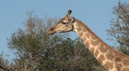 Stock Video Footage of Giraffe eating