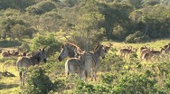 Stock Video Footage of Group zebras South Africa