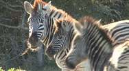 Stock Video Footage of Zebras South Africa