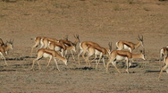 Springbok antelopes Stock Footage