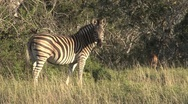 Stock Video Footage of Zebra passing by other zebra