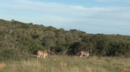 Stock Video Footage of Group Zebras