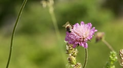 Bees collect pollen on the purple flowers Stock Footage