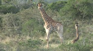 Stock Video Footage of Giraffe
