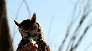 Stock Video Footage of Owl Eats Mouse