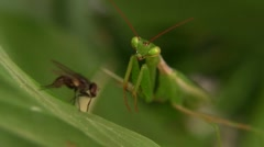 Praying Mantis Catches Housefly Stock Footage