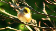 Waxeye 01 Stock Footage