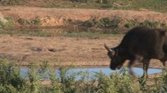 Buffalo near waterpool Stock Footage