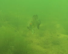 Smallmouth Bass Clip Stock Footage