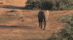 Elephant walking to the waterpool Stock Footage