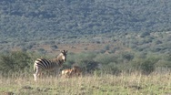Stock Video Footage of  Zebra South Africa