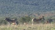Stock Video Footage of Two zebras