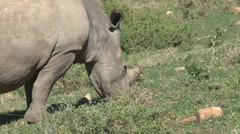 Rhino eating grass Stock Footage