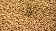 Stock Video Footage of wheat 2